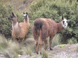 "Neugierige Lamas im ""Parque Nacional Cajas"""